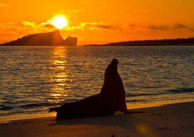 león marino o lobo marino de las Galápagos (Zalophus wollebaeki)