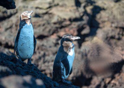 Islas-Galapagos-pinguino-de-Galapagos-18